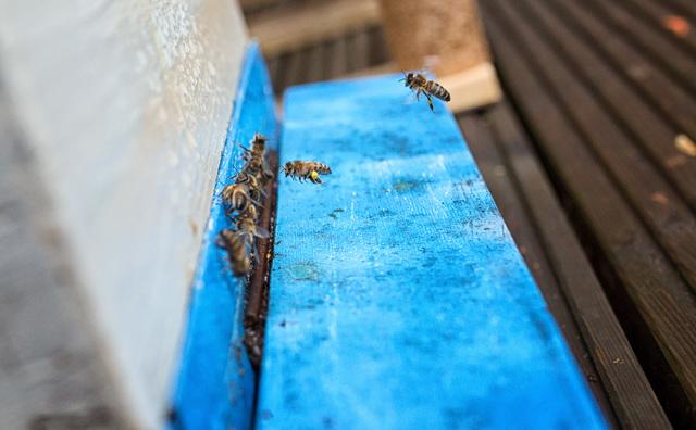 Deze bijen wonen op de HvA en studenten gaan veel van hen leren